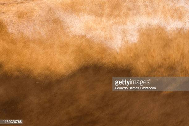 brown natural leather texture in the light of cow or bull - cowhide stock photos and pictures