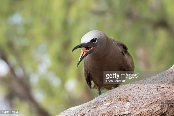 Brown Noddy or sea-swallow (Anous stolidus) with open beak and tongue, Bird Island, Seychelles, Indian Ocean