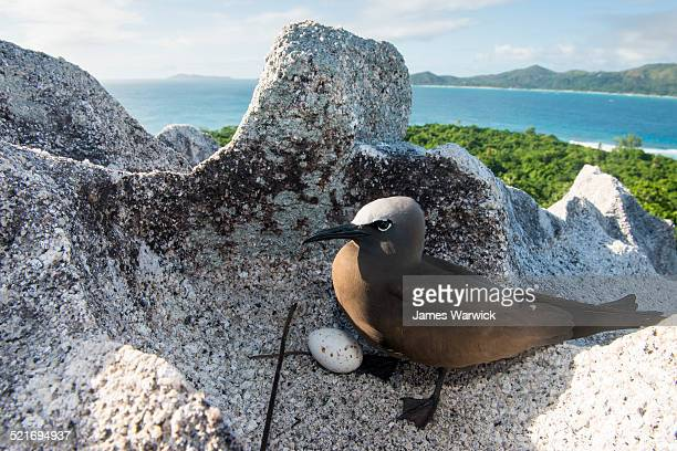 Brown noddy with egg on granite boulder