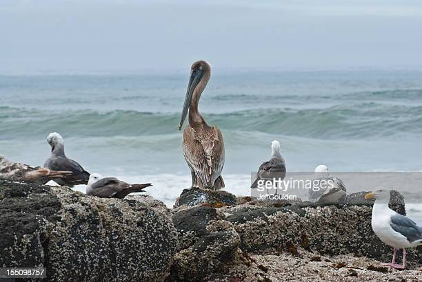 Brown Pelican and Gulls at the Pacific Ocean