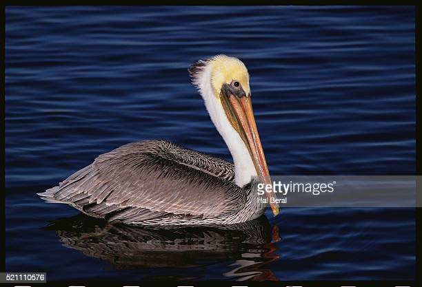 Brown Pelican at Bolsa Chica Wetlands
