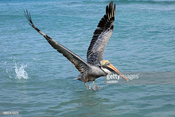 Brown Pelican catches fish