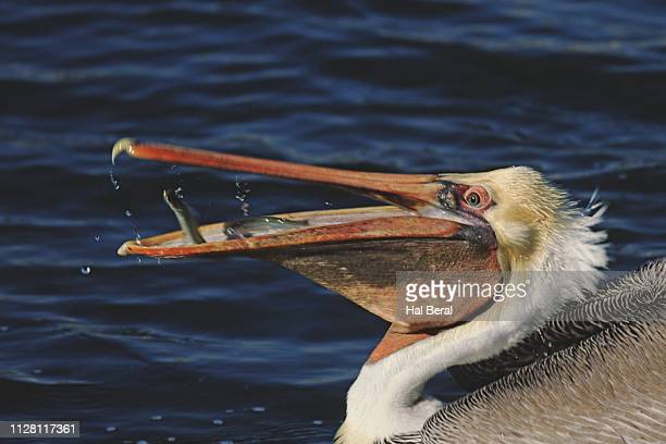 brown pelican catching fish close-up - brown pelican stock photos and pictures