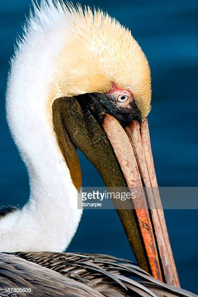Brown Pelican Closeup Face Shot Profile