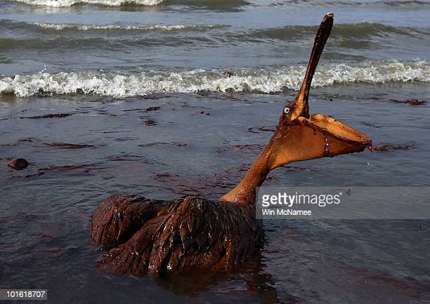 A brown pelican coated in heavy oil wallows in the surf June 4 2010 on East Grand Terre Island Louisiana Oil from the Deepwater Horizon incident is...