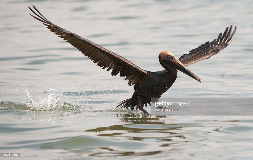 A brown pelican covered with oil from th : Foto di attualità