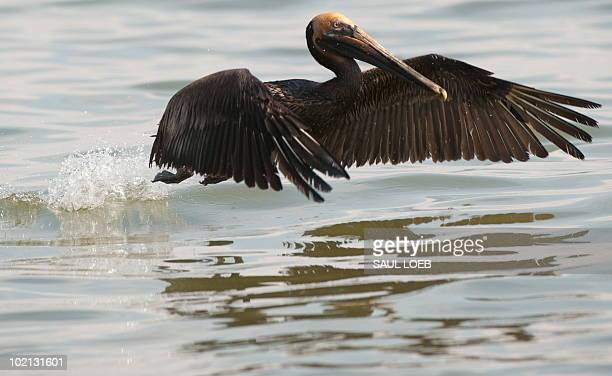 A brown pelican covered with oil from the BP Deepwater Horizon oil spill swims at Sandy Point in the Gulf of Mexico near Venice Louisiana June 15...