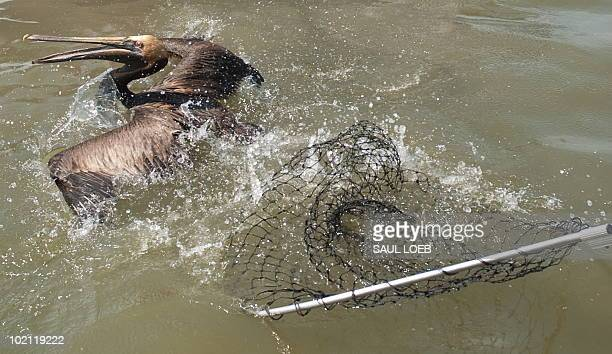 A brown pelican covered with oil from the BP Deepwater Horizon oil spill eludes capture by a team of biologists from the US Fish and Wildlife Service...