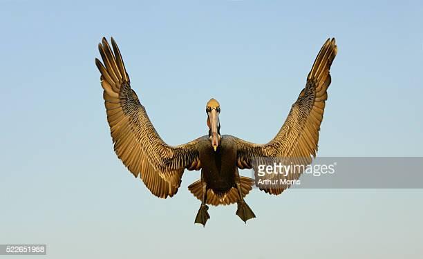 Brown Pelican Descending for Landing