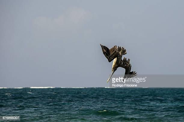 Brown pelican (Pelecanus occidentalis) diving into sea, Puerto Morelos, Mexico