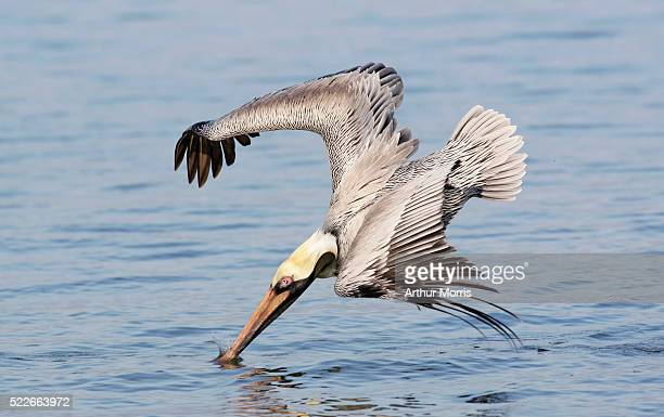 Brown Pelican Diving into Water at Little Estero Lagoon