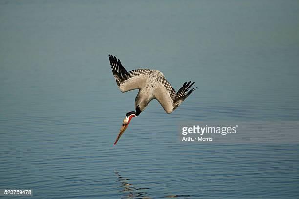 Brown Pelican Diving into Water
