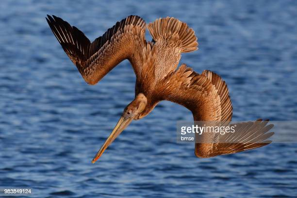 brown pelican diving - brown pelican stock photos and pictures