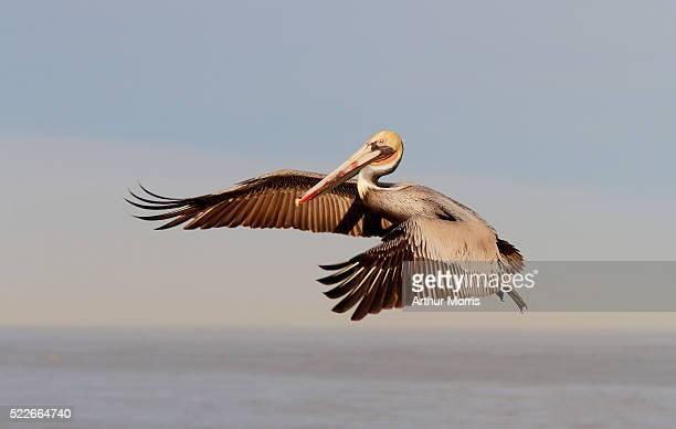 Brown Pelican downstroke flight
