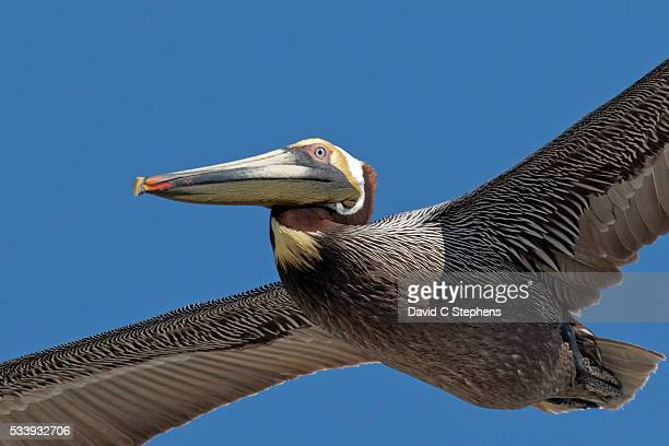 brown pelican flies close - brown pelican stock photos and pictures