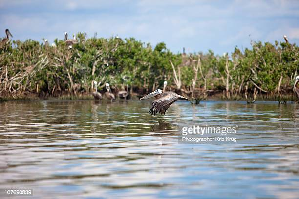 A brown pelican flies low to the water's surface