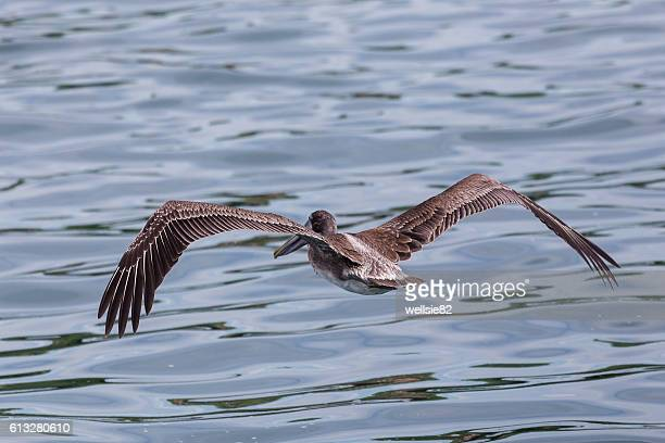 Brown pelican flying above the sea