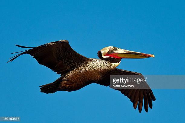 Brown pelican flying, closeup