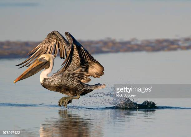 Brown pelican flying out of water, Fort De Soto Park, Florida, USA