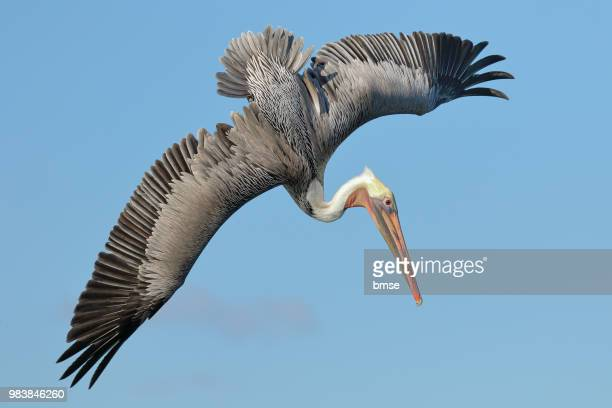 brown pelican flying - pelicans stock pictures, royalty-free photos & images
