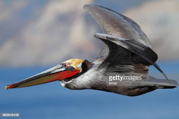 brown pelican flying - brown pelican stock photos and pictures