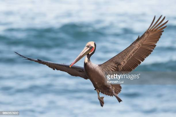 a brown pelican flying. - brown pelican stock photos and pictures