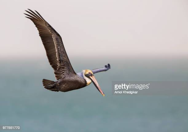brown pelican (pelecanus occidentalis) flying, texas, usa - brown pelican stock photos and pictures