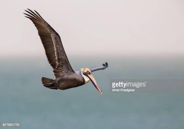 Brown pelican (Pelecanus occidentalis) flying, Texas, USA