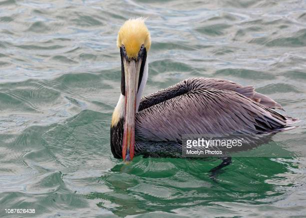 brown pelican glaring - brown pelican stock photos and pictures