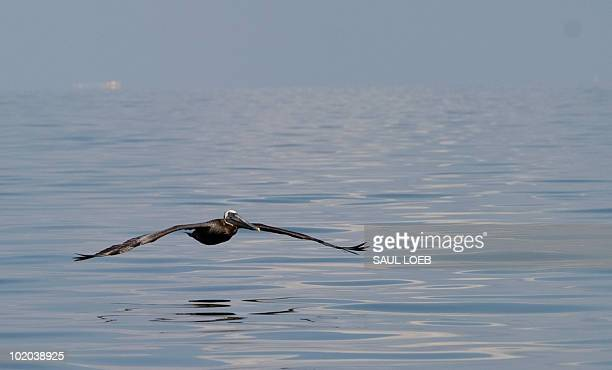 A brown pelican glides over Barataria Bay near Grand Isle Louisiana June 13 as cleanup efforts continue on the BP Deepwater Horizon oil spill...