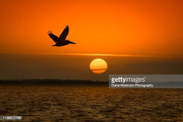 brown pelican in flight at sunrise on captiva island, florida - captiva island - fotografias e filmes do acervo