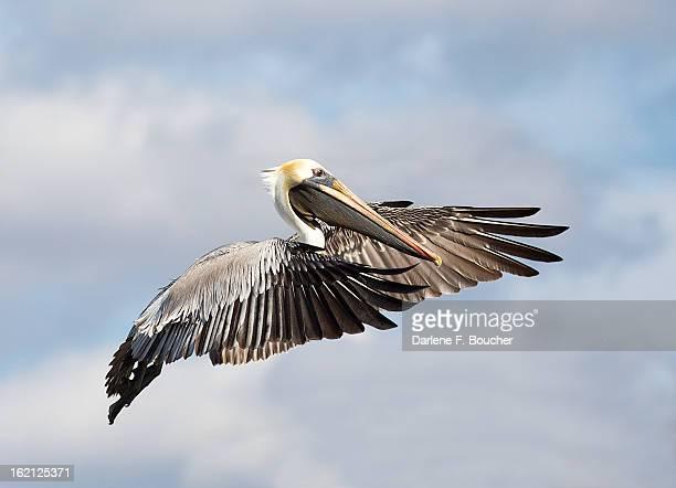 brown pelican in flight - brown pelican stock photos and pictures