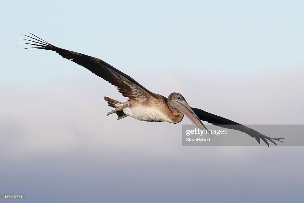 Brown Pelican In Flight : Stock Photo
