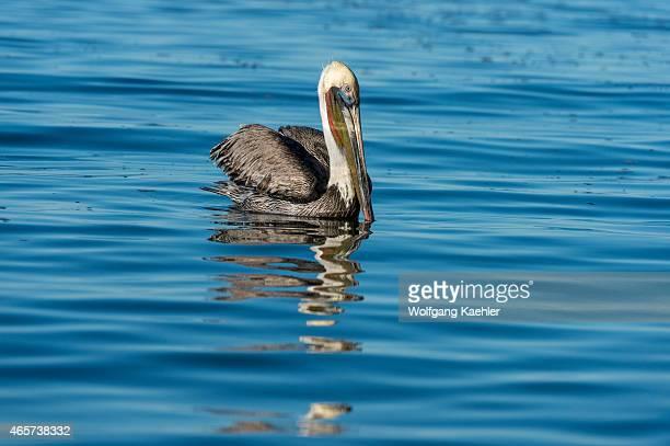 Brown pelican is swimming in the bay of Aqua Verde a small fishing village near Loreto Sea of Cortez in Baja California Mexico
