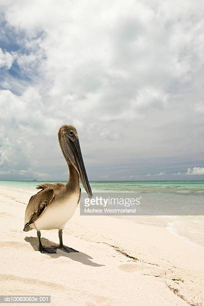 brown pelican (pelecanus occidentals) on beach - grand bahama stock photos and pictures