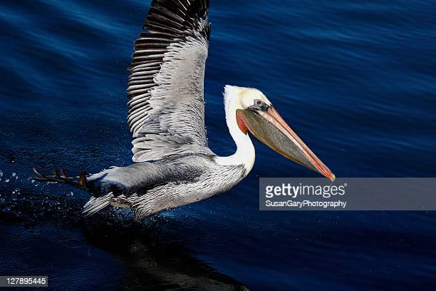 Brown Pelican on blue