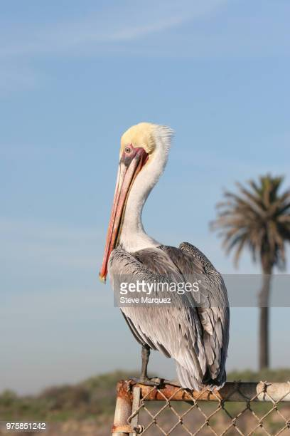 brown pelican on chain link fence - brown pelican stock photos and pictures