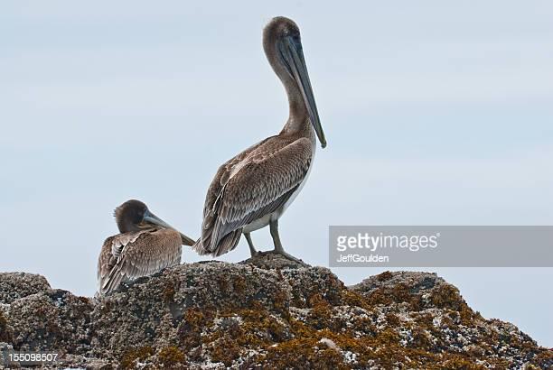 Brown Pelican Pair Standing on a Rock