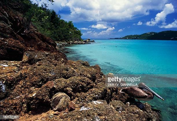 Brown Pelican Pelecanidae Magens Bay Saint Thomas Antilles United States Virgin Islands