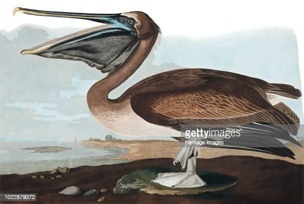 Brown Pelican, Pelecanus Fuscus. From The Birds of America by John J. Audubon. Pub. 1827-1838 .