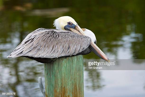 Brown Pelican Pelecanus occidentalis a large shorebird roosting on a pole at Captiva Island Florida USA