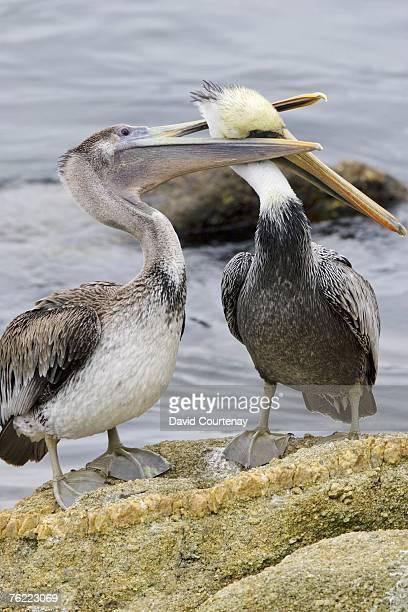 Brown Pelican, Pelecanus occidentalis, juvenile pestering adult for food, Monterey Bay, California, USA