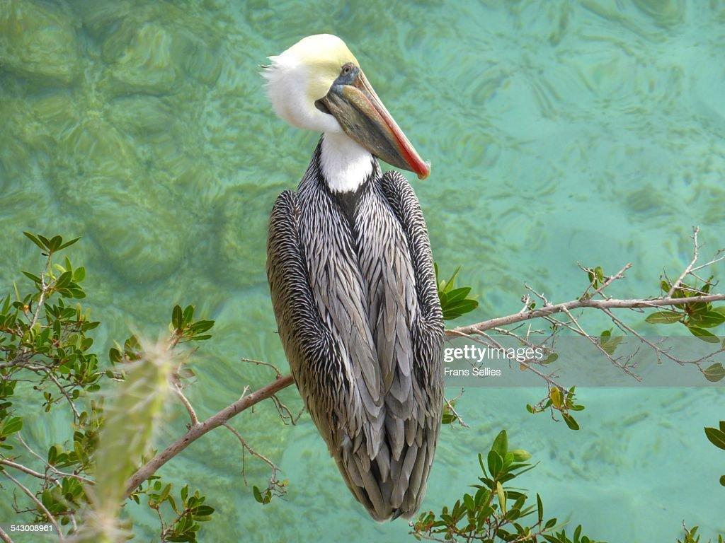 A brown pelican (Pelecanus occidentalis) : Stockfoto