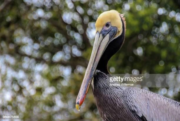 brown pelican (pelecanus occidentalis linaeus) - brown pelican stock photos and pictures