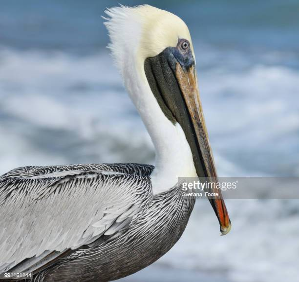 brown pelican - svetlana stock photos and pictures