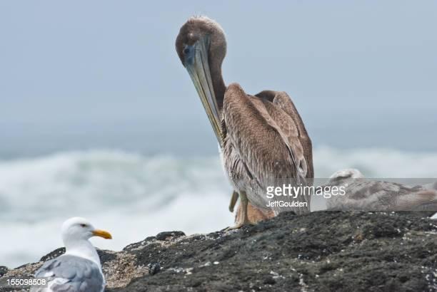 Brown Pelican Preening by the Ocean