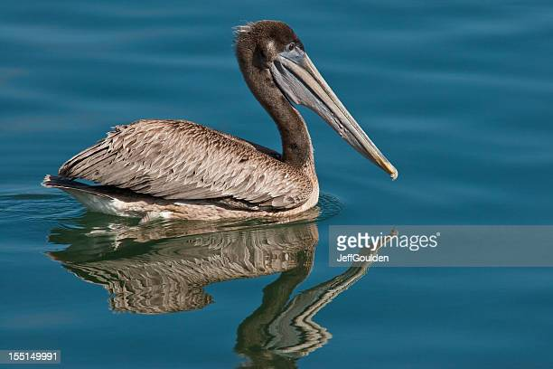 brown pelican reflected in the water - brown pelican stock photos and pictures