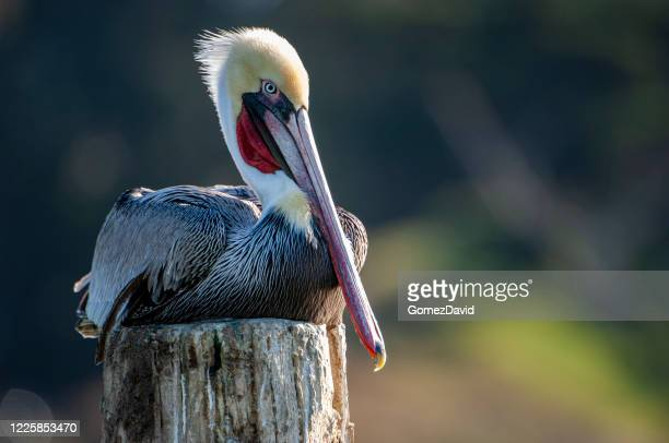 brown pelican resting on wooden piling - water bird stock pictures, royalty-free photos & images