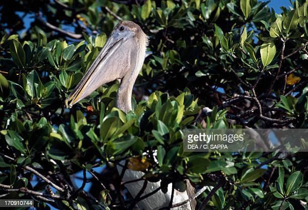 Brown Pelican Sian Ka'an Biosphere Reserve Quintana Roo Mexico