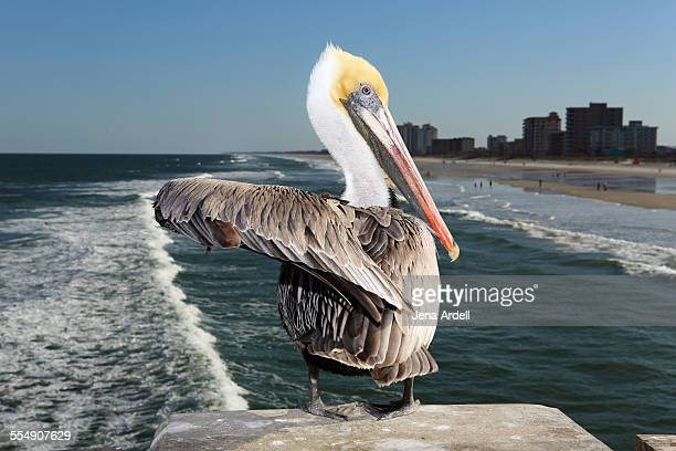 Brown pelican sitting on pier overlooking ocean